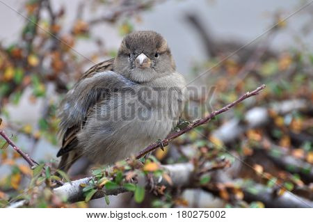 Female House Sparrow (Passer domesticus) on branch