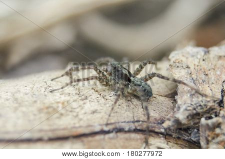 Macro Close-up View Of Hairy Little Spider