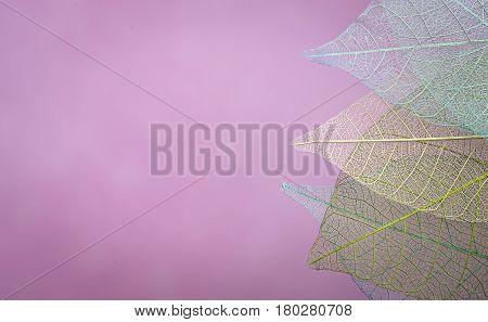 group of pink skeleton leaves on blured background, close up