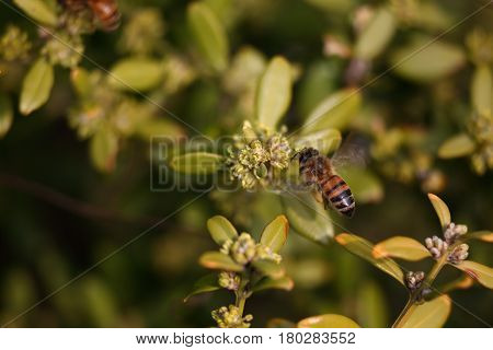 A honey bee and the Boxwood tree flower