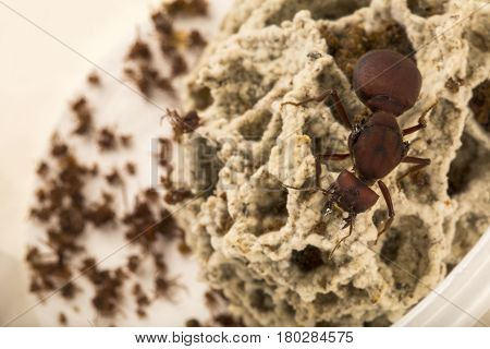 Ant queen in the nest. Nature of ants.