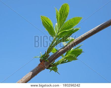 Elder Branch In Springtime