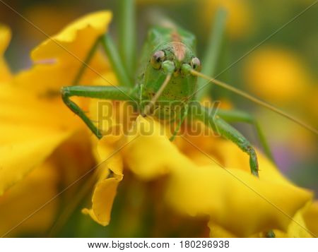 Green locust on a yellow marigold. Long locust mustache. Insect on a close-up flower.