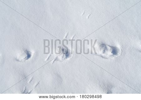 animal tracks on the fresh snow at the sunny day
