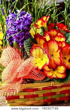 Red and yellow primula flowers in small basket