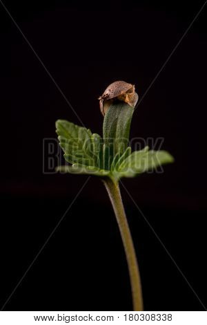 Macro detail of cannabis sprout (dark angel marijuana strain) with a seed shell attached to a leaf, isolated over black