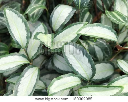 Fresh and green leaf plant for texture and background (Calathea picturata)