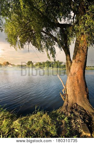 Willow on the river at the sunset