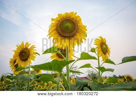 Sunflowers garden. Sunflowers have abundant health benefits. Sun