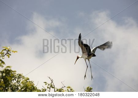 Yellow Billed Stork In Flight, Lake Manyara National Park, Tanzania