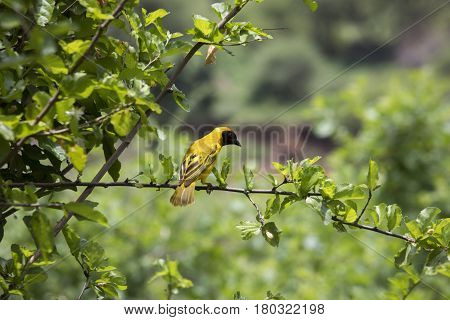 Northern Masked Weaver, Lake Manyara National Park, Tanzania