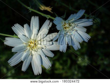 Desert Superbloom White Flowers In Anza Borrego State Park