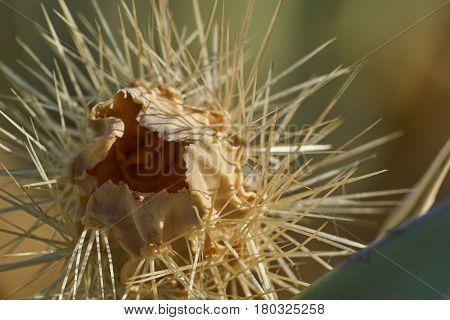 Dead Desert Cactus Close Up In Anza Borrego