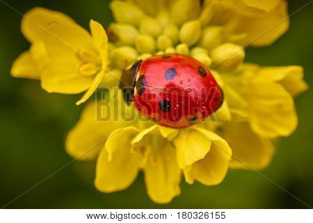 Closeup of small red ladybug on yellow flower