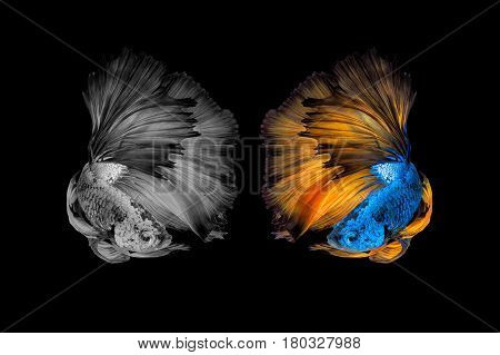 Betta Fish,siamese Fighting Fish Black And With And Colour Version In Movement On Black Background