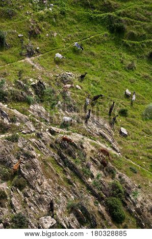 Aerial view of a group of multicolored goats grazing on a rocky with some green pasture. Alentejo Portugal.