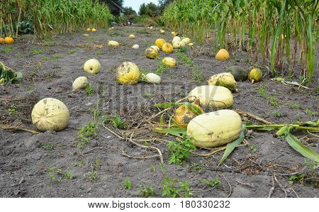 A field with pumpkins and corn harvest at a farm