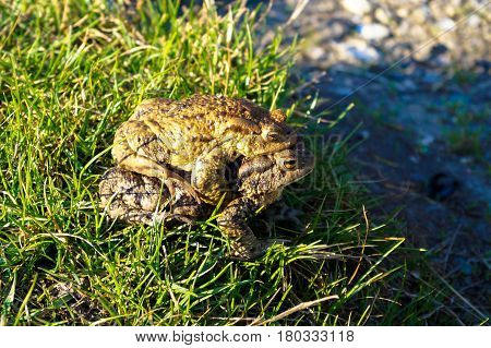 two big frogs bask in the sun