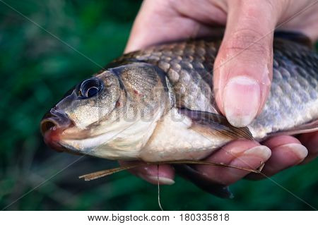 fishing caught a carp in the hand of man