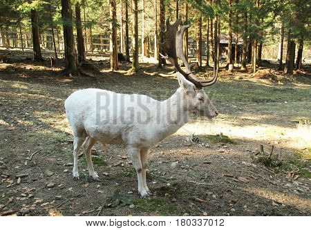 white fallow deer male with big antlers in the shadows of the trees