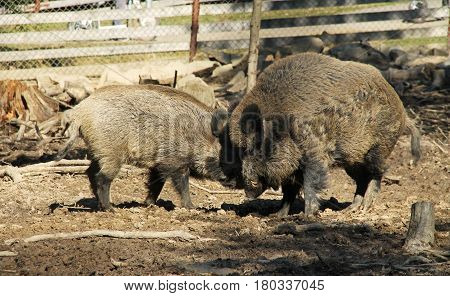fighting wild boars (Sus scrofa), dominant male and younger one
