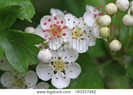 Hawthorn blossom flowering on a tree in Spring