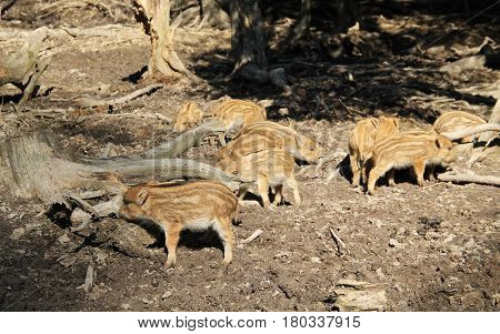 group of cute young wild pigs (Sus scrofa) with stripes on their fur