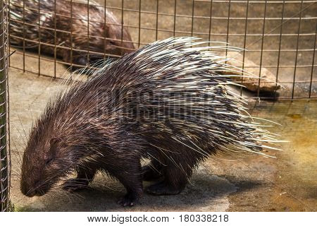 Porcupines are rodentian mammals with a coat of sharp spines or quills that protect against predators.