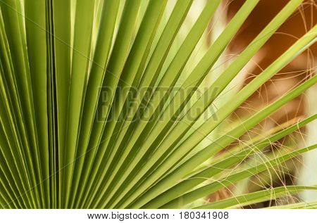 natural background of green fan palm tree leaves foliage texture tropical plant on sunny summer day