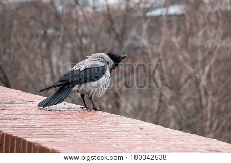 Corvus corone cornix or gray european crow which ruffled standing alone on brick wall of Buda castle in Budapest Hungary