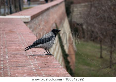 Corvus corone cornix or gray european crow standing alone on brick wall of Buda castle in Budapest Hungary