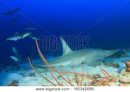 Whitespotted Guitarfish Shovelnose Ray (Shark ray)