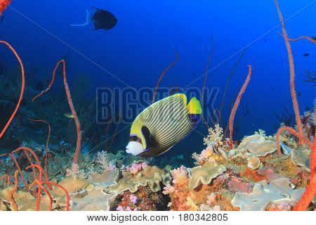 Emperor Angelfish fish on coral reef