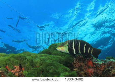 Barred Thicklip Wrasse fish