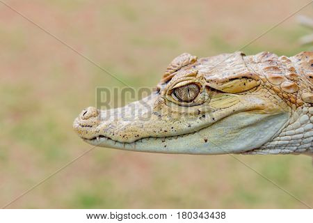 Baby alligator cayman gator face portrait head close up in the wild