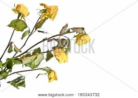 Bouquet of withered dried yellow roses. Wilted roses on a white background.