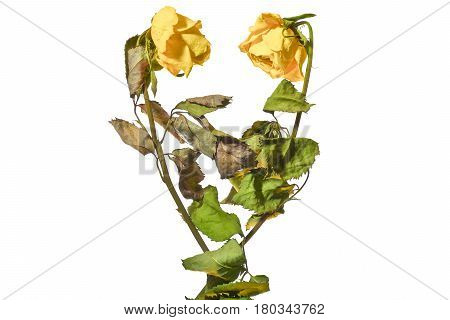 Heart shape with dried yellow roses.Wilted roses on a white background.