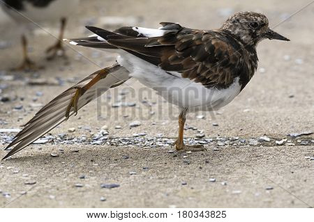 Ruddy Turnstone (Arenaria interpres) standing on the Quayside in a Harbour stretching