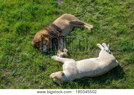 Lion and his white lioness relaxing on the grass in safari park