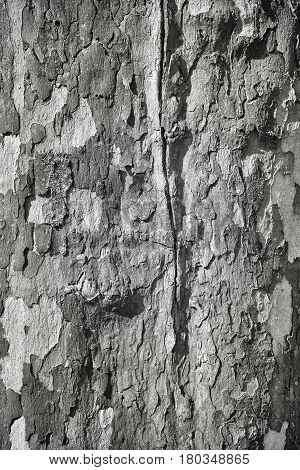 Black And White Pictue Of Plane Tree Bark.