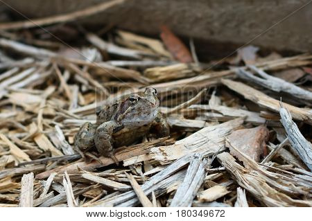 Wild Animal Young Frog Sitting On Wooden Sawdust Outdoor Close Up.