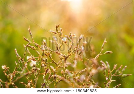 A Branch Of Little Field Plant