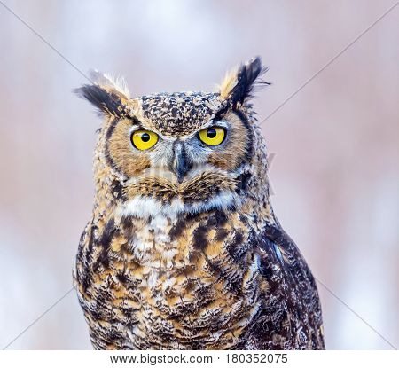 The great horned , also known as the tiger or the hoot, is a large owl native to the Americas. It is an extremely adaptable bird with a vast range and is a common  true owl in the Americas poster