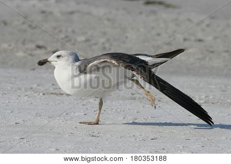 A juvenile Lesser Black-backed Gull stretching a wing on a beach in Florida