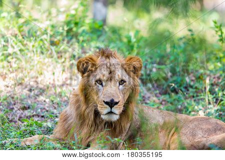Asiatic Lion in a national park in India. These national treasures are now being protected, but due to urban growth they will never be able to roam India as they used to.