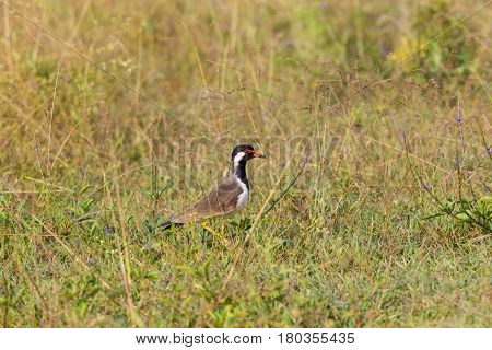 Red-wattled lapwings are large waders, medium sized. The wings and back are light brown with a purple sheen, but head and chest and front part of neck are black. The head has red markings.