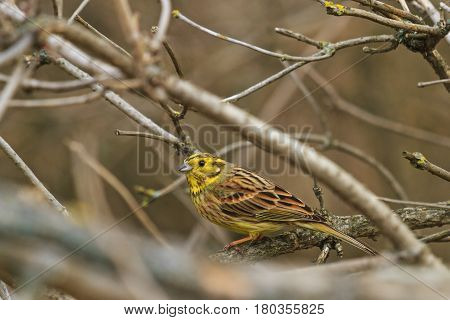 Yellowhammer among thick branches sing a song, wildlife birds