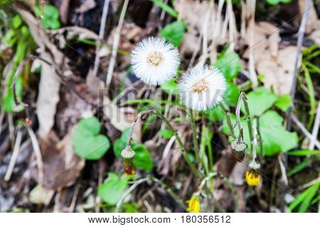 Seeds of Coltsfoot. First early spring mother and stepmother flower on empty ground. Dandelion Tussilago farfara medical plant.