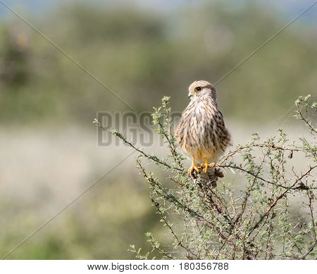 The common kestrel a bird of prey species belonging to the kestrel group of the falcon family. It is also known as the European , Eurasian, or Old World kestrel. Perched on a acacia bush.