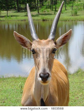 Antelope Close-Up